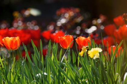 "тюльпаны от фотошколы ""Миг"""